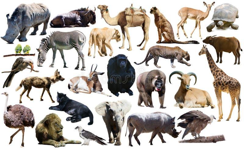 Fåglar, däggdjuret och andra djur av Afrika isolerade royaltyfri bild