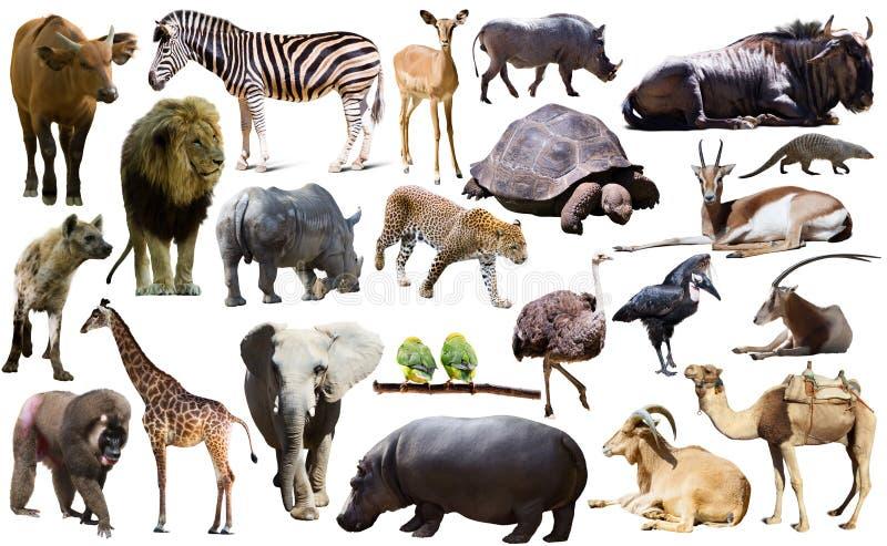 Fåglar, däggdjuret och andra djur av Afrika isolerade royaltyfri fotografi