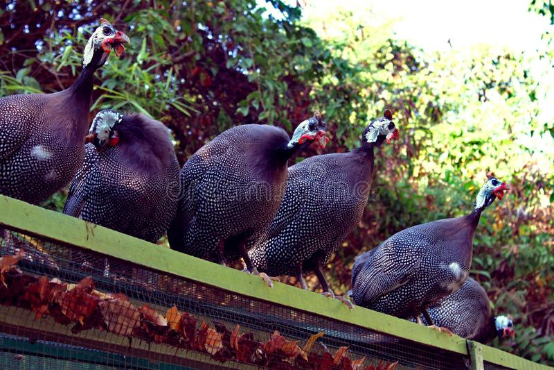 Fåglar för lantgård för pärlhöns överst härliga royaltyfri bild