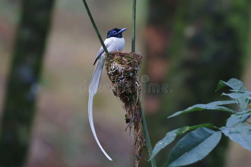 Fåglar för morf för den asiatiska paradisflugsnapparen bygga bo manliga vita royaltyfri foto