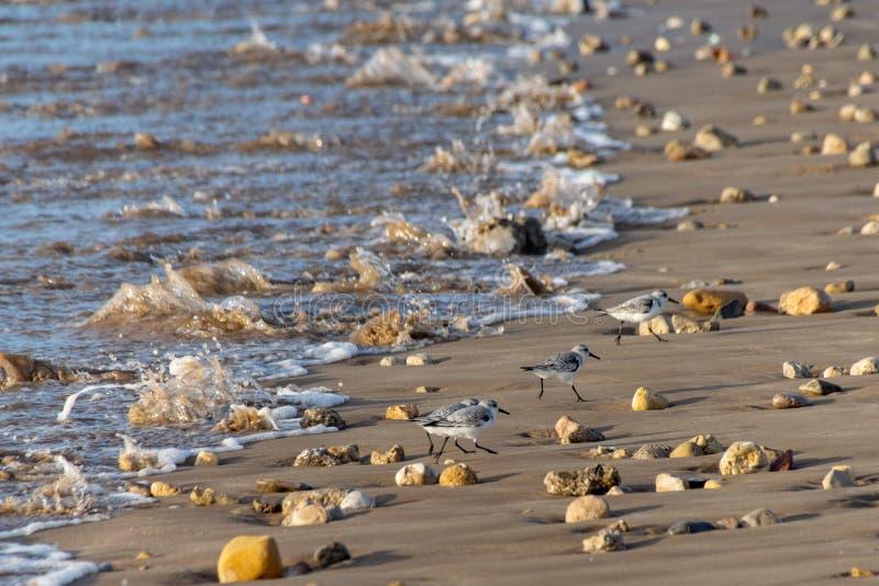 Fåglar för vadande för SanderlingsCalidrisalbum som små upp kör stranden från inkommande vågor, som de söker för mat i Agadir, royaltyfri foto
