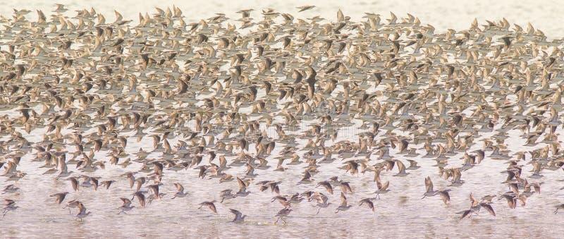 Fåglar flockas bakgrund royaltyfri foto