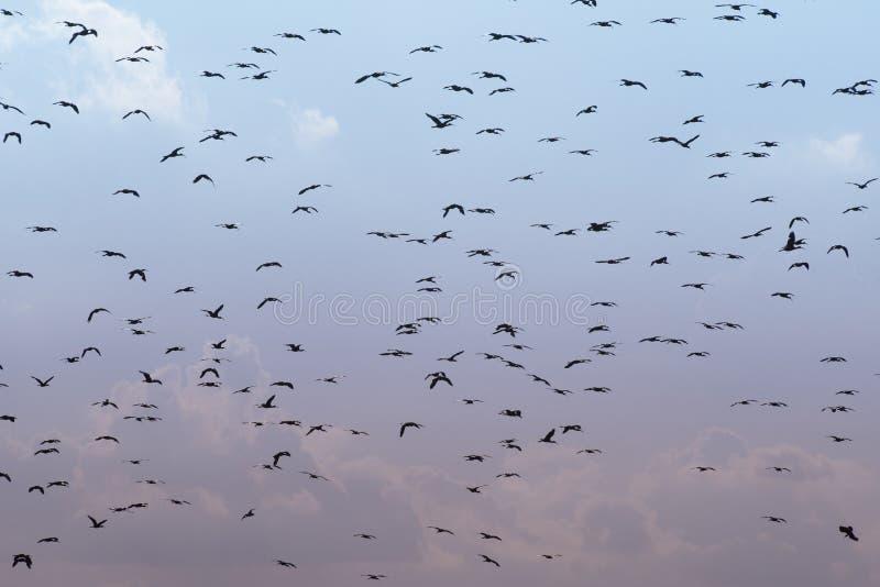 Fåglar flockas bakgrund royaltyfria foton