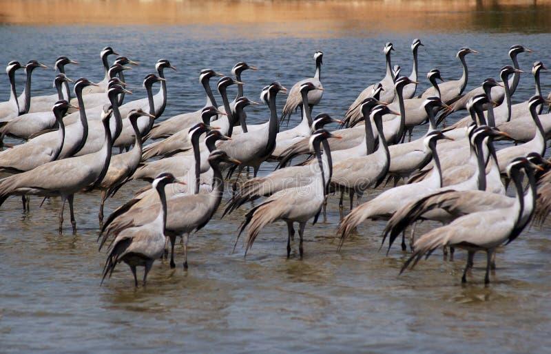 fåglar flockas migratory royaltyfria foton