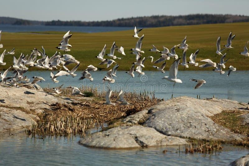 Fåglar flyger över golfbanan royaltyfria bilder