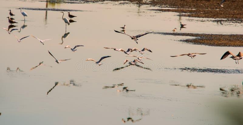 Fåglar flyger i sökande av mat i dammet i morgonen royaltyfri fotografi