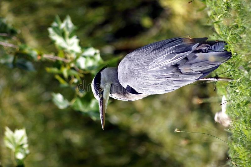 Download FÅGLAR - Grey Heron arkivfoto. Bild av lakes, djurliv - 37347428