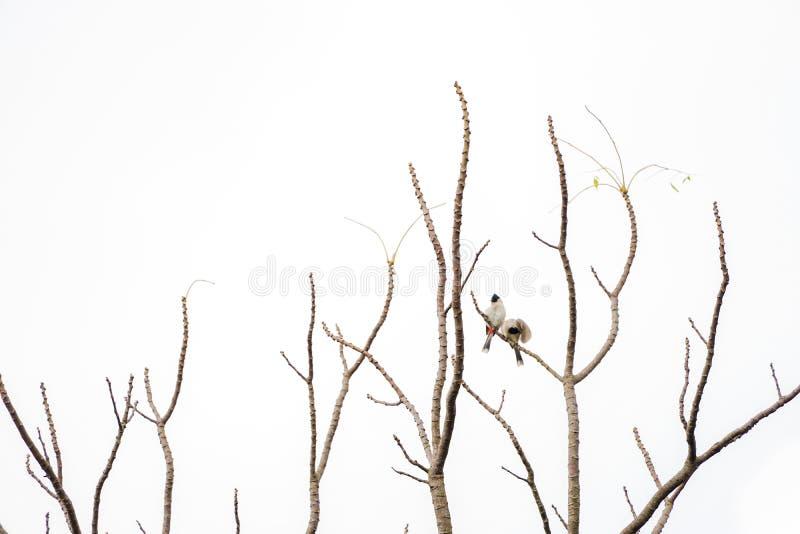2 fåglar hänger på för att förgrena sig av trädet som inget blad Vit bakgrund royaltyfri fotografi