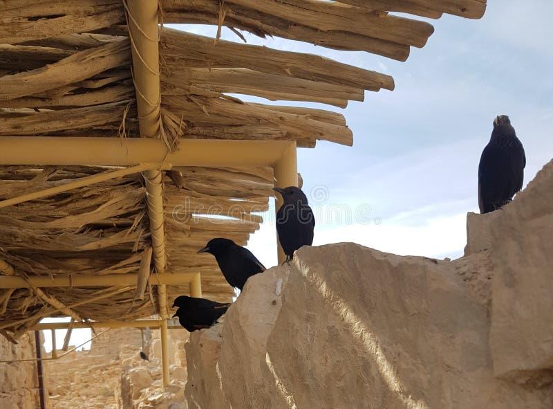Fåglar i Masada fotografering för bildbyråer