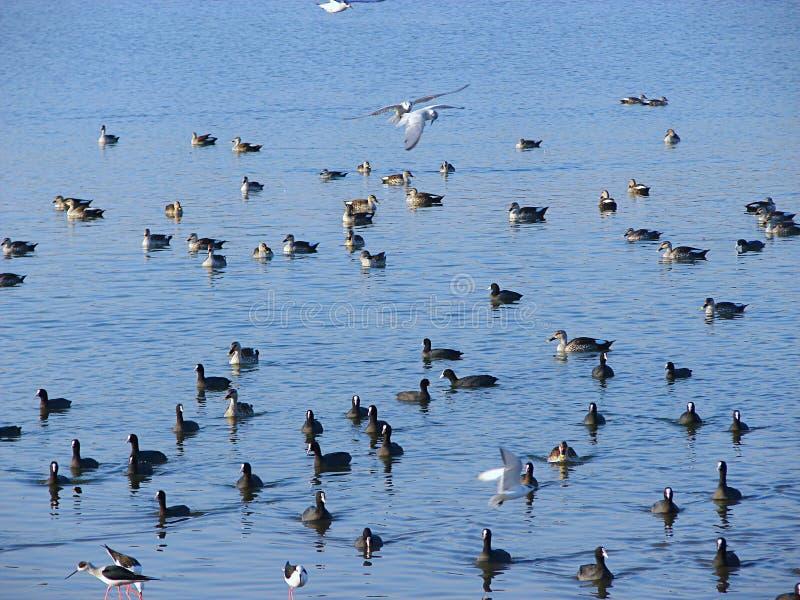 Fåglar och änder på Randarda sjön, Rajkot, Gujarat arkivbilder