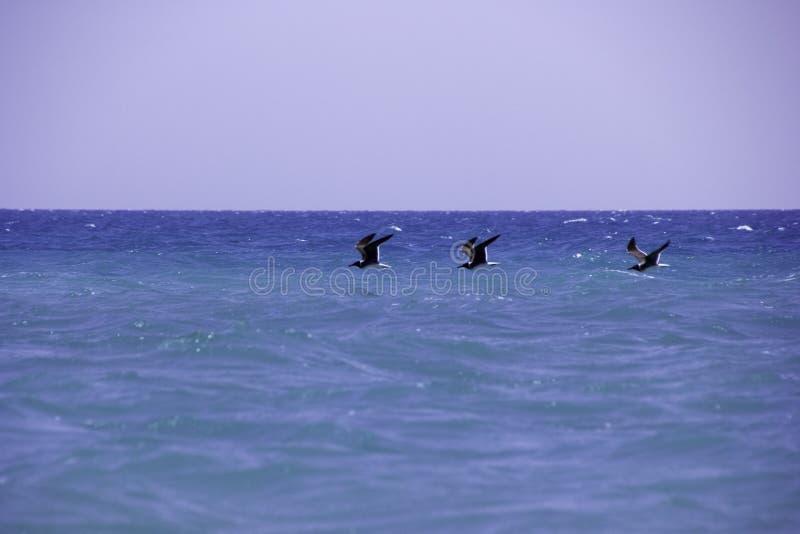 Fåglar och havet fotografering för bildbyråer