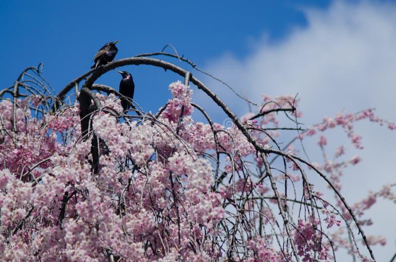 Fåglar på blommande körsbärsrött träd arkivfoton