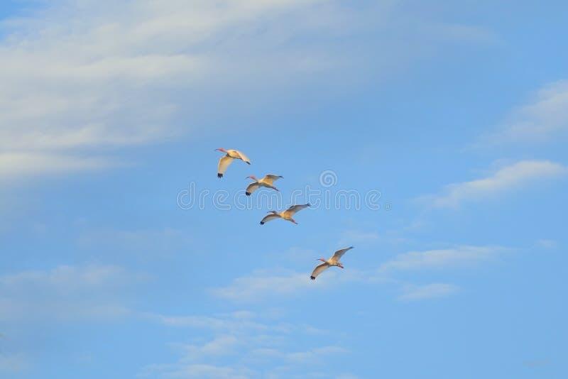 Fåglar på himmel royaltyfri foto
