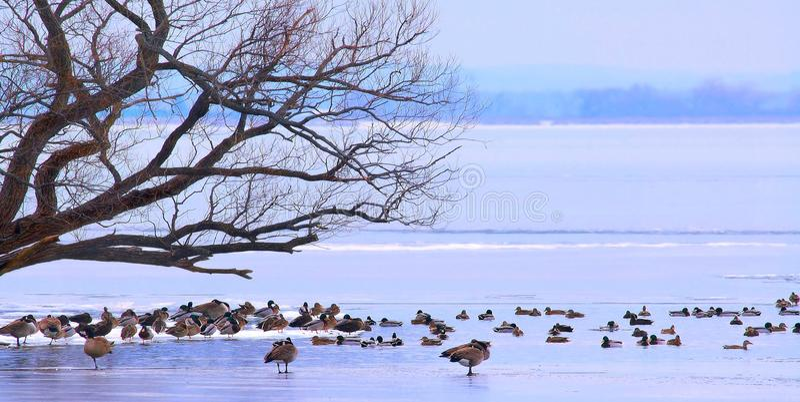 Fåglar på ispanorama arkivfoto