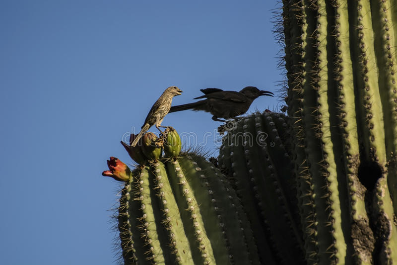 Fåglar på kaktuns arkivfoton