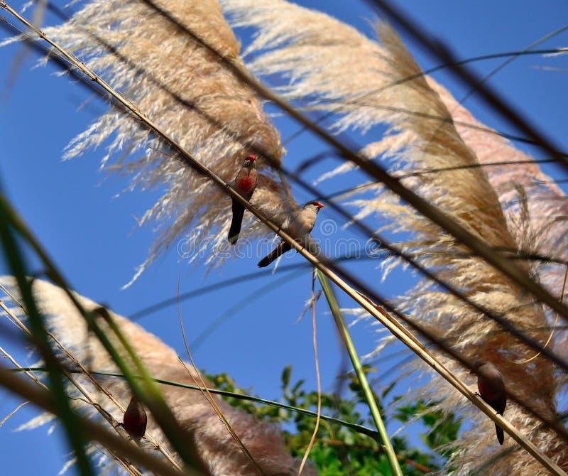 Fåglar på pampasgräs arkivbild