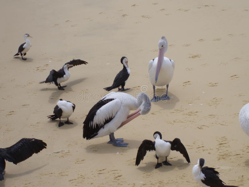 Fåglar på strand fotografering för bildbyråer