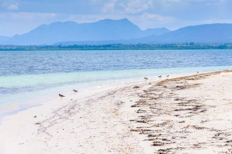 Fåglar på stranden i den Cayo Levisa ön i Kuba arkivbilder