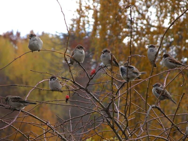 Fåglar på träd, i kallt väder för höst, sparvar fotografering för bildbyråer