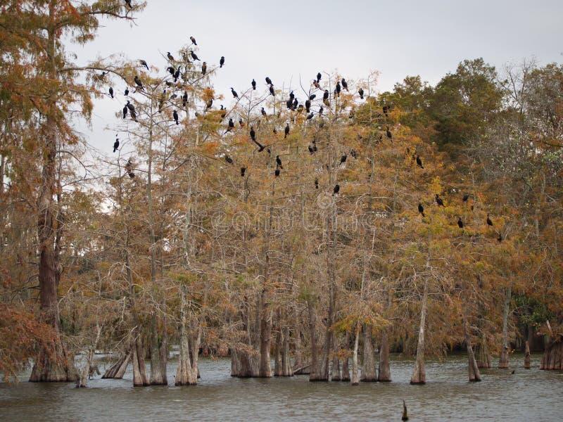 Fåglar på träd i sjösvalan, Louisiana royaltyfri fotografi