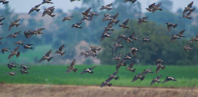 Fåglar Rosy Starlings som flyger över fältet arkivbild