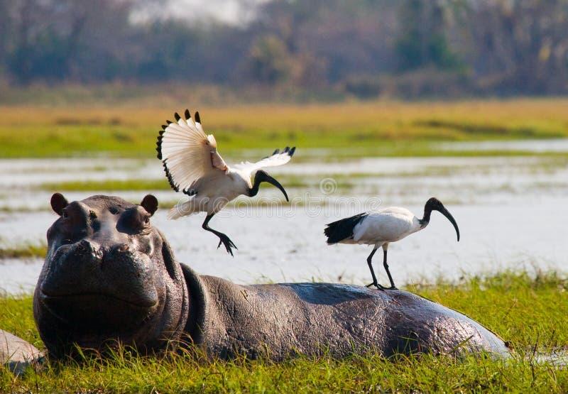 Fåglar sitter på baksidan av en flodhäst bothy Okavango delta arkivfoton