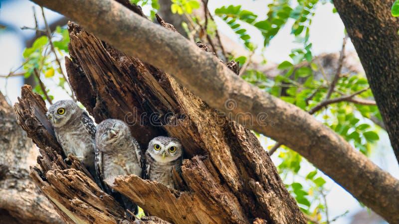 3 fåglar som bor, som familjer lokaliseras i fördjupningarna av träd med en vit bakgrund Den prickiga uggleungen är naturligt dju arkivfoto