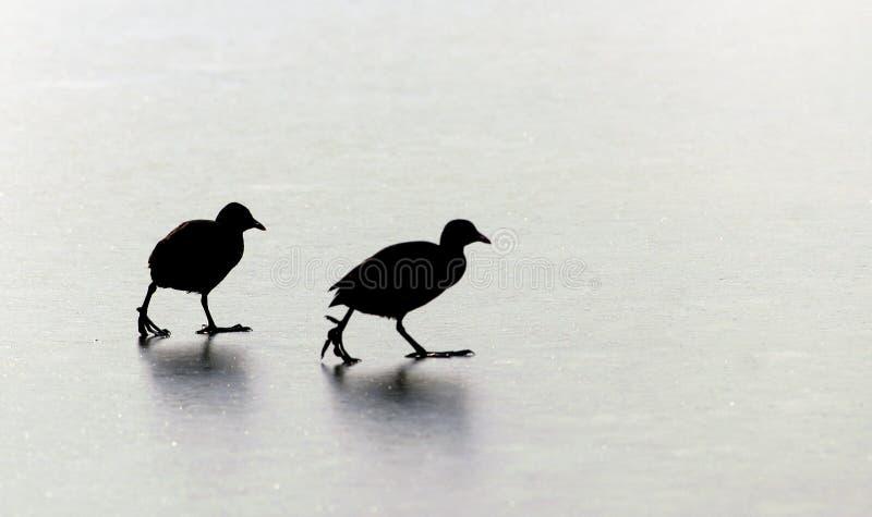 Fåglar som går på is royaltyfri bild