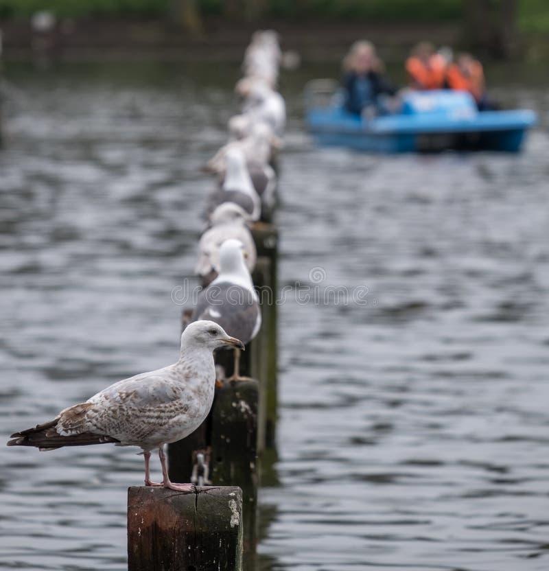 Fåglar som sätta sig på trästolpar i sjön på härskande ` s, parkerar i London Suddigt blått fartyg som är synligt i bakgrunden royaltyfria bilder