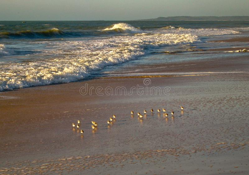 Fåglar som söker efter föda i morgonsolljuset, RJ Brasilien arkivfoto