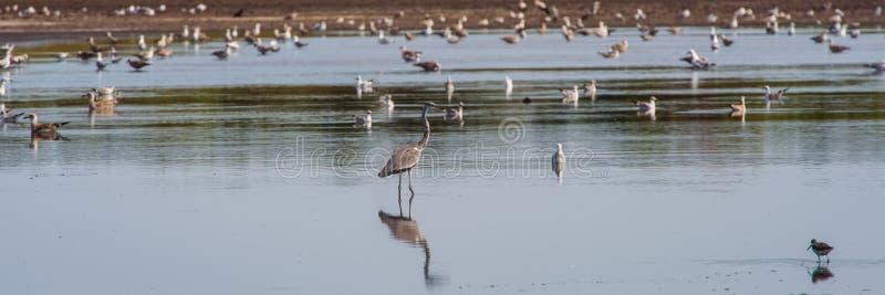 Fåglar som söker för mat i dammet i morgonen fotografering för bildbyråer
