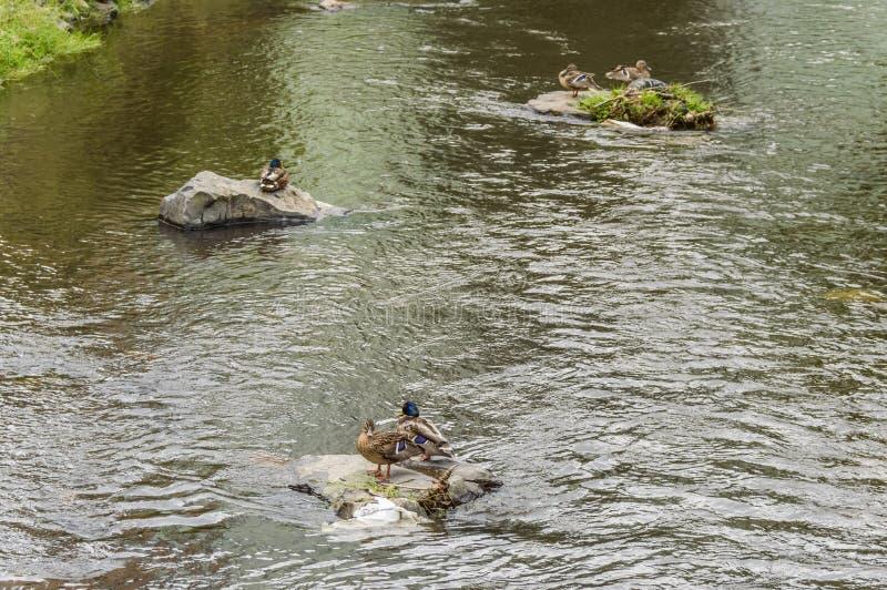 Fåglar som står på, vaggar att sväva i vatten arkivbilder