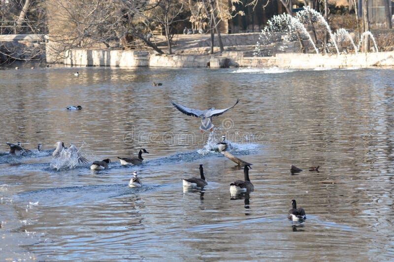 Fåglarna Och änderna I Vatten Royaltyfri Foto