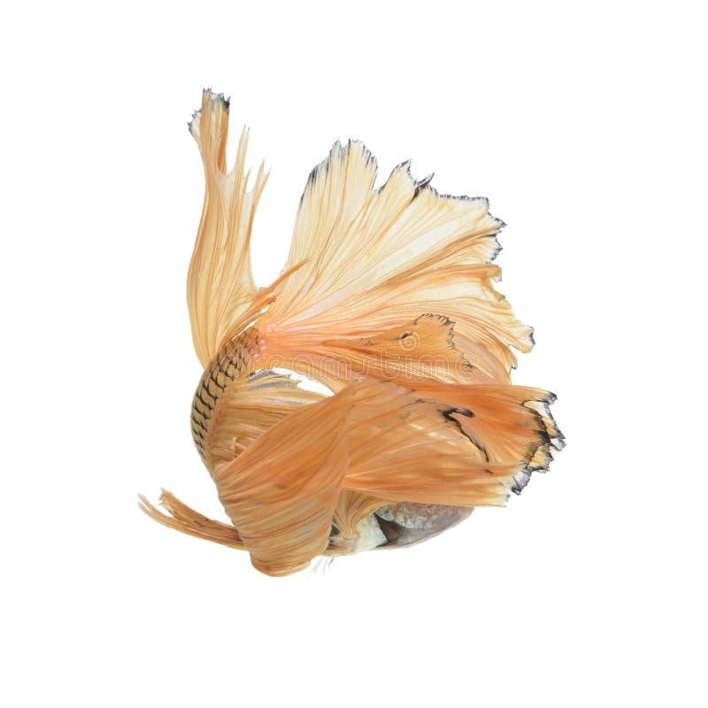 Fånga det rörande ögonblicket av den gula siamese stridighetfisken royaltyfri foto