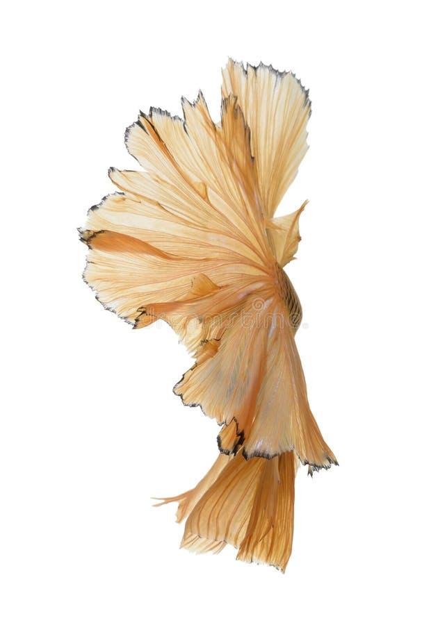 Fånga det rörande ögonblicket av den gula siamese stridighetfisken arkivbilder