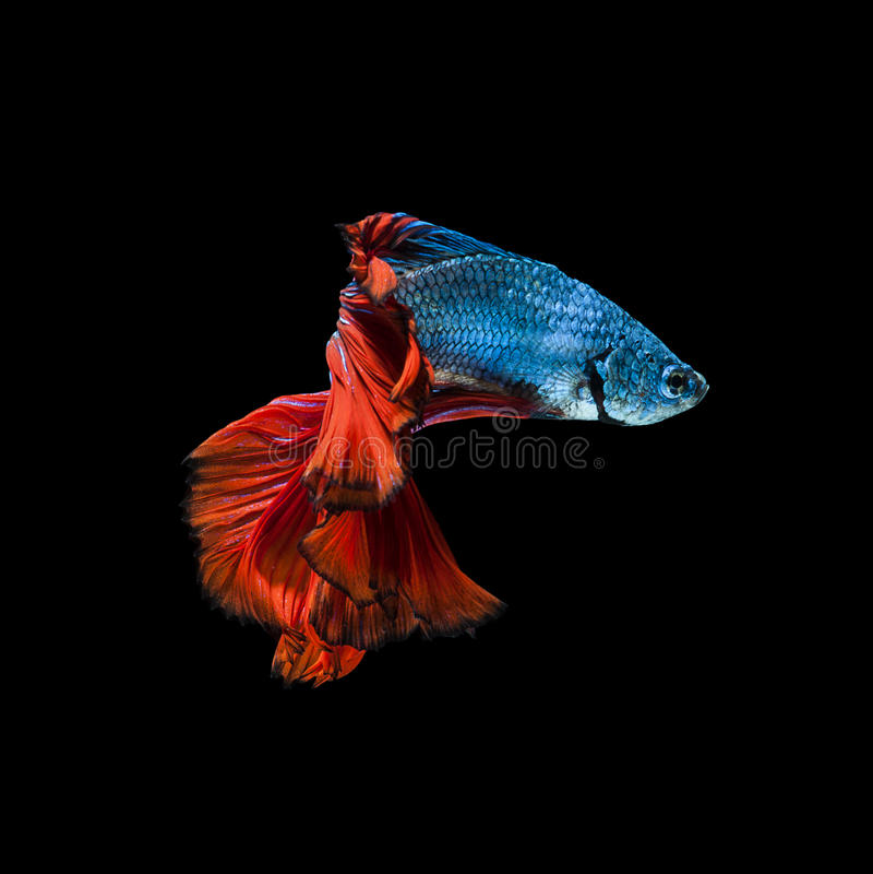 Fånga det rörande ögonblicket av röd-blått den siamese stridighetfisken fotografering för bildbyråer
