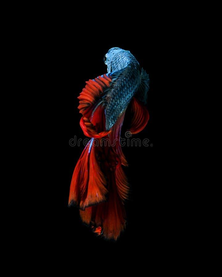 Fånga det rörande ögonblicket av röd-blått den siamese stridighetfisken arkivfoto