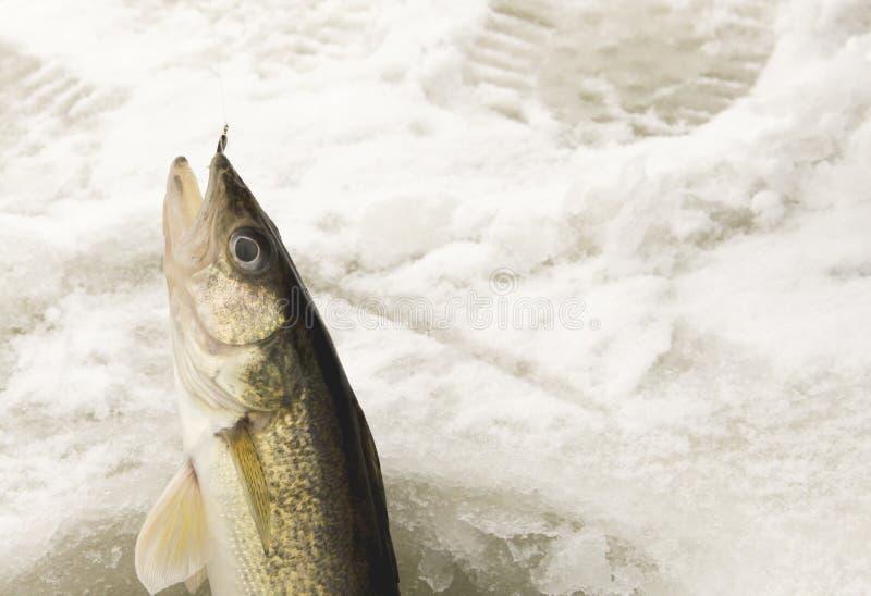 Fånga ett Walleyeisfiske royaltyfria bilder