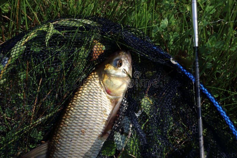 Fånga fisken i floden royaltyfri foto