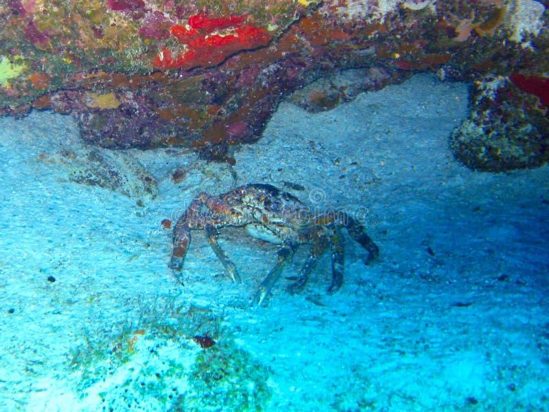 fånga krabbor porecelain royaltyfri fotografi