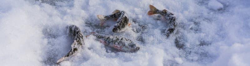 Fångad fisk på is lies russia transbaikalia för fiskfiskeis bara blockerade vinter Vinter och snow arkivbilder
