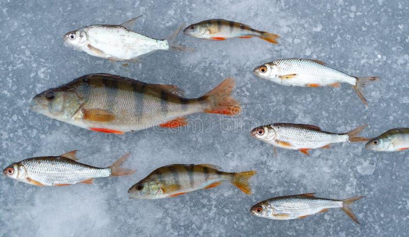 Fångad fisk som läggas ut på isförnimmelsen som fisken svävar i vattnet all fisk i en riktning, sittpinnar och vit arkivbild