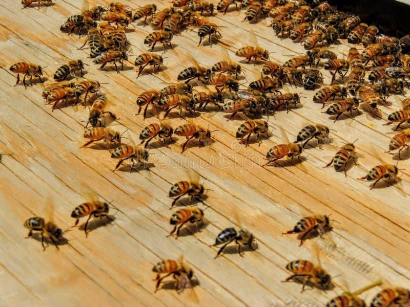 Fångad svärm av bin ombord som skriver in bikupan som fläktar för att kyla av arkivbild