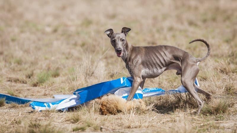 Fångade den italienska vinthunden för hunden på fullföljandet ett bete Jaga utbildning arkivfoto