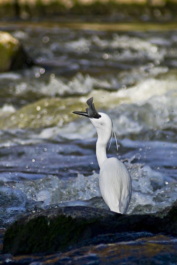fångande egretfisk little arkivbilder
