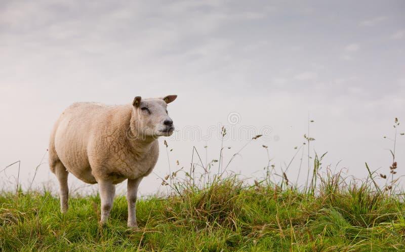 Download Får fotografering för bildbyråer. Bild av gräs, får, fält - 27282193