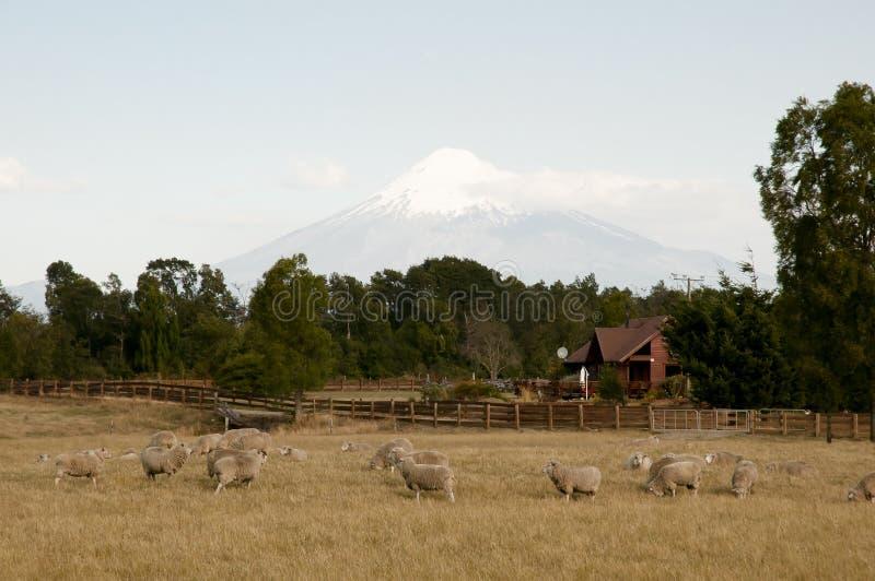 Får betar nära Volcano Osorno - Chile fotografering för bildbyråer