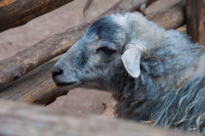 får djur, lamm, ull, däggdjur, get, royaltyfri foto