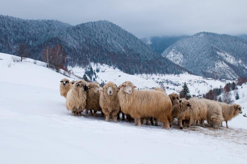 Får flockas i berg, i vinter royaltyfria foton