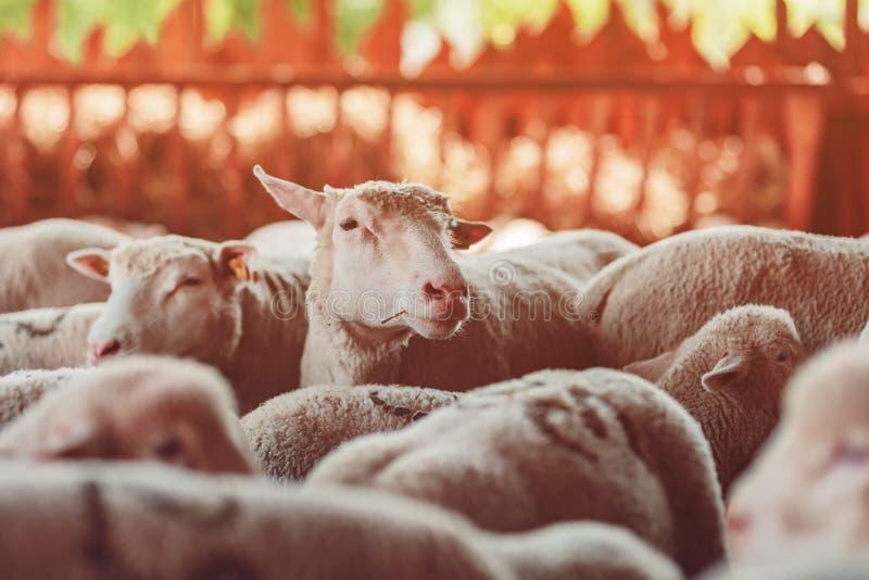 Får flockas i penna på mejerilantgård arkivbild